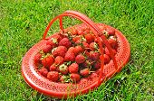Lug-box Of Ripe Strawberry On Green Grass