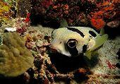 Boxfish coral reefl, Egypt.