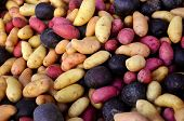 Multi-colored fingerling potatoes at an outdoor farmers' market.