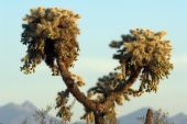Jumping Cholla Cactus Above The Mountains