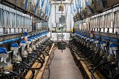 picture of dairy cattle  - Equipment with milking machines on dairy farm - JPG
