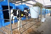 Calf on a dairy farm drinking water from a drinking bowls