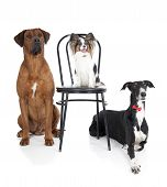 three dogs (ridgeback papillon greyhound)