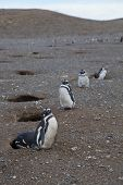 Group Of Magellanic Penguins Lined Up At Magdalena Island