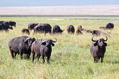 Herd Of African Buffalos