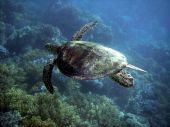 Sea Turtle In Great Barrier Reef
