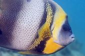 stock photo of cortez  - A curiouse Cortez angel fish checking for intruders - JPG
