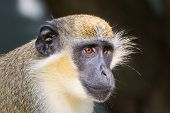 Green Vervet Monkey Portrait