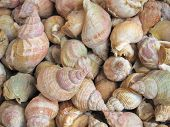 Fresh Whelks On Sale In  Market