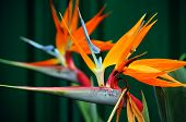 Strelitzia, The Bird Of Paradise Flower, Is A Genus Of Five Species Of Perennial Plants, Native To S