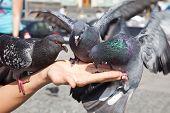 Feeding Of Pigeons