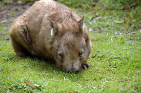 pic of wombat  - the hairy nosed wombat is eating the grass - JPG