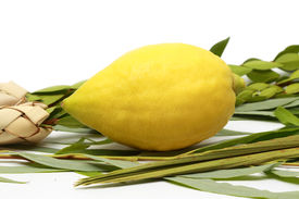 pic of sukkoth  - Etrog (citron fruit) hadass (myrtle branches) Lulav (Date palm tree branch) and Arava (Willow) Used in a ceremony of the Jewish holiday of Sukkoth. ** Note: Shallow depth of field - JPG