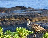 The Nene is Hawaii's state bird and is a federally protected species.