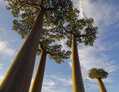 Avenue Of The Baobabs, Morondava. Madagascar.