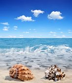 pic of conch  - Conch shells on beach - JPG