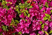 bougainvillea flowers