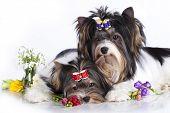 Beaver Yorkshire Terrier