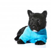 Scottish Terrier puppy wearing blue sweater isolated on white background