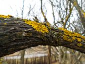 stock photo of lichenes  - Closeup of yellow lichen on a branch in front of a tree with more lichen - JPG