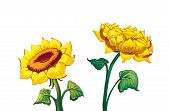 Two Sunflowers Illustration isolated on white background