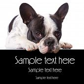 French bulldog over white with copyspace
