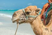 Saddled Camel