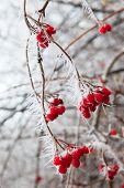 Rosehip Branches Covered With Hoarfrost.