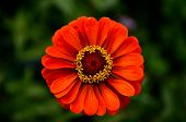 pic of zinnias  - Orange Zinnia close - JPG