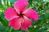 stock photo of hibiscus flower  - Pink hibiscus flower - JPG