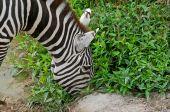 Zebra - (equus Burchelli Boehmi)