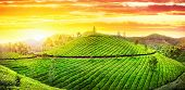 Tea Plantation Panorama