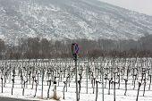 Snowed Vineyards