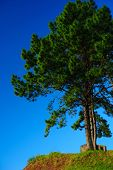 Pine Tree With Clear Blue Sky