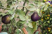 Eggplant Plant In Garden