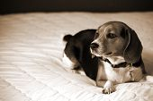 Beagle laying on bed