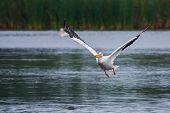 White Pelican (pelecanus Erythrorhynchos) In Flight