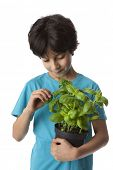 Eight year old boy picking basil leaves on white background
