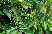 Unripe Coffee Beans On Coffee Tree.