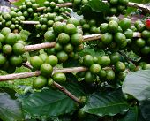 Coffee Beans On Coffee Tree.