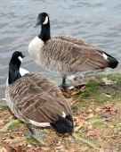 Two Canadian Geese Looking At Each Other