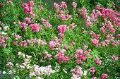 Rose Flower Bed In The Garden