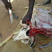 picture of slaughter  - Slaughtering a goat in a ritual sacrifice on the Muslim public holiday known as Tabaski or Eid Al Adha - JPG
