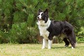 Border Collie Standing On The Lawn.