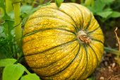 pumpkin in a farm field