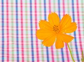 Cosmos Flower On Colorful Stripe  Background