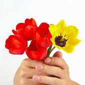 Hands gives a bouquet of red and yellow tulips on white background