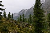 Rain In A Siberian Mountain Woodlands
