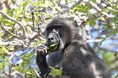 Baboon eating leaves