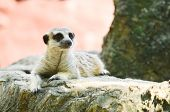 picture of meerkats  - Meerkats sitting on the rock in the savana